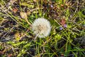 White dandelion with seeds umbrellas on the grass background Royalty Free Stock Photo
