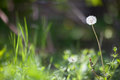 White dandelion in spring on the field Stock Photo