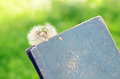 White dandelion and vintage book Royalty Free Stock Photo