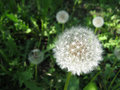 White dandelions Royalty Free Stock Photo