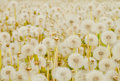 White dandelions field background Stock Photography