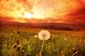 White dandelions on sunrise Royalty Free Stock Photo