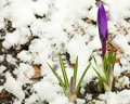 White-dark blue crocuses against snow Royalty Free Stock Photos