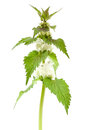 White dead-nettle (Lamium album) Royalty Free Stock Images