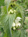White dead nettle lamium plant album single in flower against diffused background Stock Image
