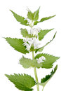 White deadnettle lamium album commonly called nettle or dead nettle is a flowering plant in the family lamiaceae Royalty Free Stock Image
