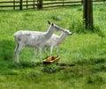 White Deer, Albino Animals