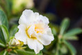 White Desert Rose or Impala Lily tropical flower Royalty Free Stock Photo