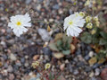 White Desert Wildflowers Gravel Ghost Atrichoseris platyphlla Royalty Free Stock Photo