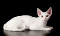 White devon rex cat.
