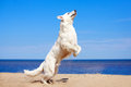 White dog on the beach swiss shepherd Royalty Free Stock Images