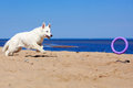 White dog on the beach swiss shepherd Stock Photography