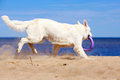 White dog on the beach swiss shepherd Stock Photo