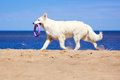 White dog on the beach swiss shepherd Royalty Free Stock Photos