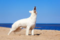 White dog on the beach swiss shepherd Royalty Free Stock Image
