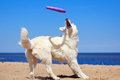 White dog on the beach swiss shepherd Royalty Free Stock Photo