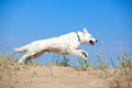 White dog on the beach swiss shepherd Stock Image
