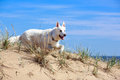 White dog on the beach swiss shepherd Stock Images