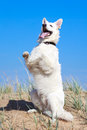 White dog on the beach swiss shepherd Stock Photos