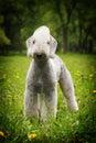 White Dog, The Bedlington Terr...
