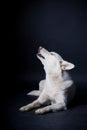 White dog earning Royalty Free Stock Photo