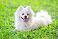 White dog on green grass Stock Photography