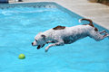White dog jumping off the side of the pool a into water for her toy Stock Photography