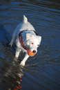 White dog playing ball in river jack russell terrier standing shallow water with his mouth Royalty Free Stock Photo