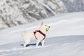 White dog playing tenis ball in snow Royalty Free Stock Photo
