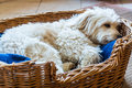 White dog relaxing a in is wicker bed Stock Photos