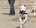 White dog running a mixed breed terrier mix through a practice agility run Stock Photography