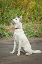 White dog sitting on the ground with collar training Royalty Free Stock Images