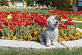 White dog sitting in a spring garden with tulips