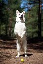 White dog swiss shepherd in forest Royalty Free Stock Photos