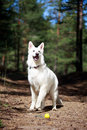 White dog swiss shepherd in forest Stock Images