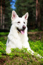 White dog swiss shepherd in forest Stock Photo