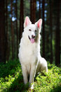 White dog swiss shepherd in forest Stock Photography