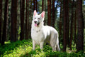 White dog swiss shepherd in forest Royalty Free Stock Image