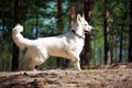 White dog swiss shepherd in forest Stock Photos