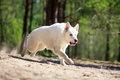 White dog swiss shepherd in forest Stock Image