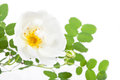 White dogrose Stock Photo