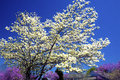 White dogwood against a blue sky. Royalty Free Stock Photo