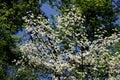 White Dogwood & Blue Sky Royalty Free Stock Photo