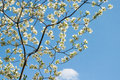 White Dogwood Branches with Blue Sky Royalty Free Stock Photo