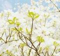 White dogwood tree flowers Royalty Free Stock Photo