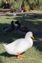 White domestic duck walking on grass at park in winter with mallards in the background Royalty Free Stock Image