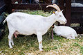 White domestic goat with kid at farm Stock Images