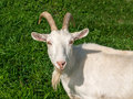 White domestic goat photograph of a look at camera horizontal color photo Stock Photography