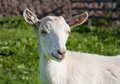 White domestic goat Royalty Free Stock Photo