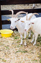 White domestic goat two goats at farm Royalty Free Stock Image